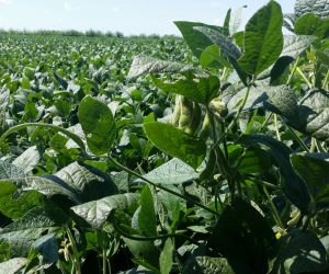 soybean field photo with sky