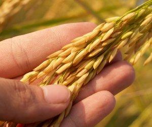Image of Rice in Husk